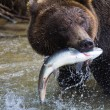 Brown Bear with a fresh catch of salmon - Stock Photo