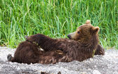 Kobieta niedźwiedź brunatny — Zdjęcie stockowe