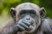 Chimpanzee in captivity — Stock Photo