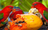 Rainbow lorikeets in a manger requests food. Mango. — Stock Photo