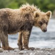 Bear cub — Stock Photo #24604991