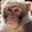 The rhesus macaque monkey (Macaca mulatta) — Stock Photo
