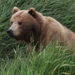 Bear and a green grass — Vídeo Stock