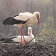 Stork in the rain - Stock Photo