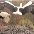 Stockvideo: STORKS BUILD THE NEST