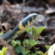 Grass Snake (Natrix Natrix) resting in the warmth - Stock Photo