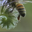 Stock Video: Bee on the flower