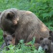 She-bear and bear cubs. — Vídeo de stock