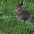 The hare eats a grass - Stock Photo