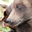 Bear cub — Stock Video #24658671