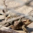 Couple Of mating Toads in spring season - Stock Photo