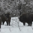 Bison in the winter - Stock Photo