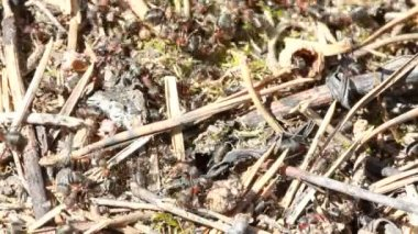 A group of ants, working at their anthill. — Stock Video