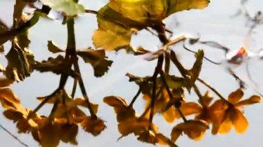 Flowers, reflexion in water — Stock Video