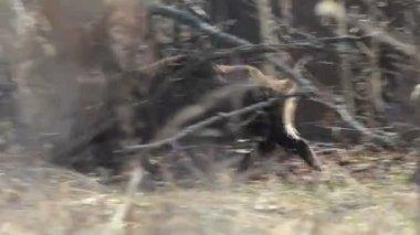 Wild boar (Sus scrofa) in spring — Vidéo