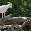 Stock Video: White goat