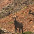 Stock Video: Rocky Mountain Bighorn Sheep