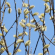 Flowering Pussy Willow - Stock Photo