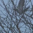 Cuckoo on tree branch — Stock Video #24664341