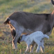 Goat and kid. Summer. A farm. — Stock Video