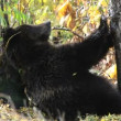 Stock Video: Brown bear. Courtship. Marking.