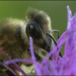 Bee on the flower — Stock Video
