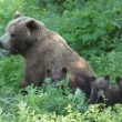 She-bear and bear cubs. — Wideo stockowe