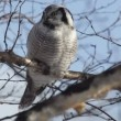 Owl, winter - Stock Photo