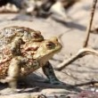 Couple Of mating Toads in spring season — Vídeo de stock