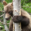 Bear cub — Stock Video #24669163