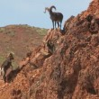 Rocky Mountain Bighorn Sheep — Stock Video