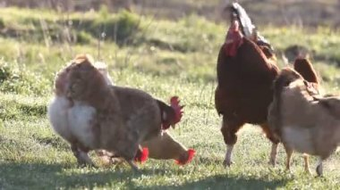 Healthy cock with hens — Stock Video