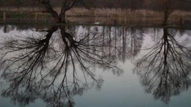 Серёжки на ольха весной — Стоковое видео