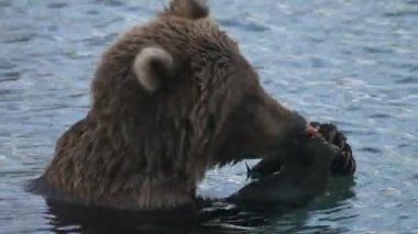 Bear eats fish — Stock Video