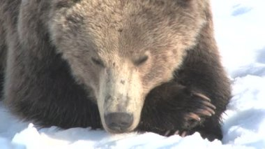 Resting brown bear in snow winter — Stock Video
