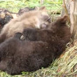 Happy bear cub — Stock Video