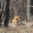 Red fox in the wildlife (Vulpes vulpes) — Stock Video #24670755