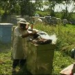 Stock Video: Beekeeper working in his apiary