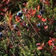 Autumn, tundra, berries - Stock Photo
