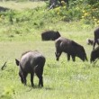 Wild boars — Stock Video