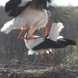 Mating Storks — Stock Video