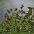 Singing Yellow Wagtail — Stock Video