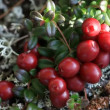 Autumn, tundra, berries — Stock Video
