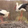 STORKS BUILD THE NEST - Stock Photo