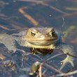 Ccommon toad (Bufo bufo) in early spring — Stock Video