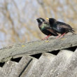 Common Starling (Sturnus vulgaris) - Foto Stock