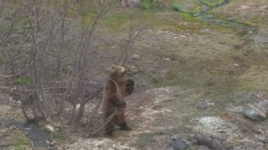Brown bear. Courtship. Marking. — Stock Video