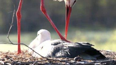Liefde en storks. — Stockvideo