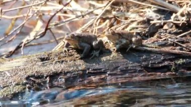 Couple Of mating Toads in spring season — Stock Video