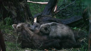 Bear cubs drink milk — Stock Video